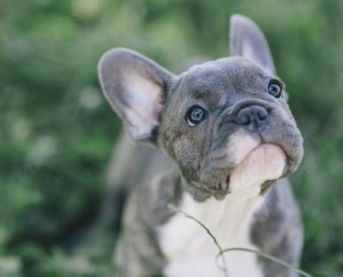 Bulldog francese blu e grigio: problemi di salute