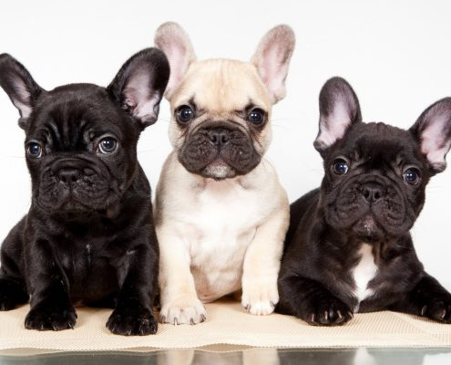 Bulldog Francese: vantaggi e svantaggi di questa razza alla moda