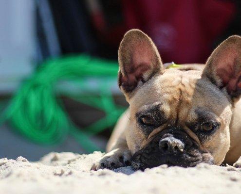Bulldog francese e caldo: perchè meglio evitare questo mix
