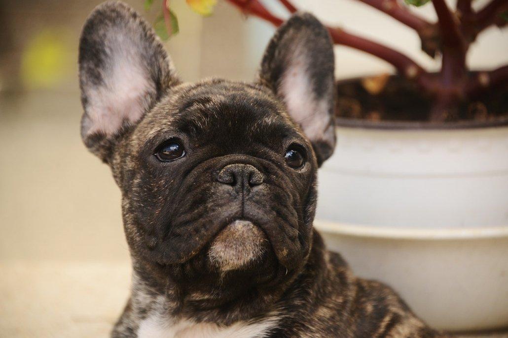 Prendersi cura del bulldog francese in modo corretto