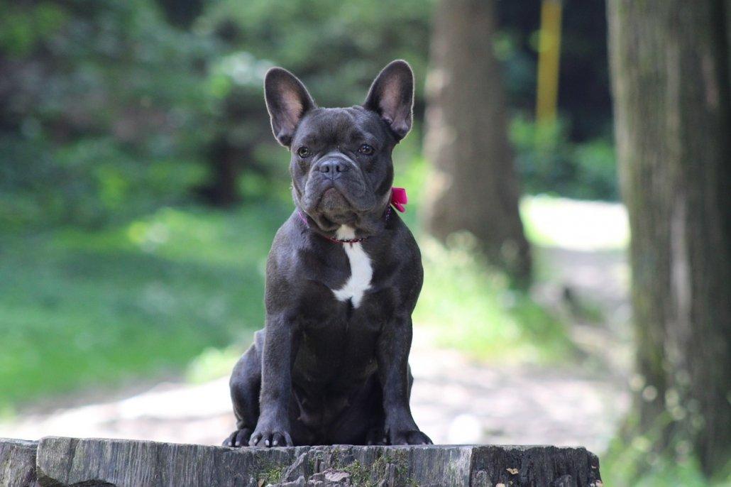 Il Bulldog Francese abbaia troppo: come evitarlo