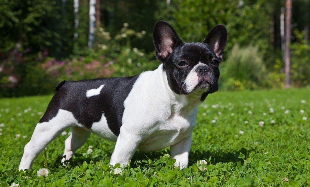 Educazione del cucciolo di Bulldog Francese: il rinforzo positivo