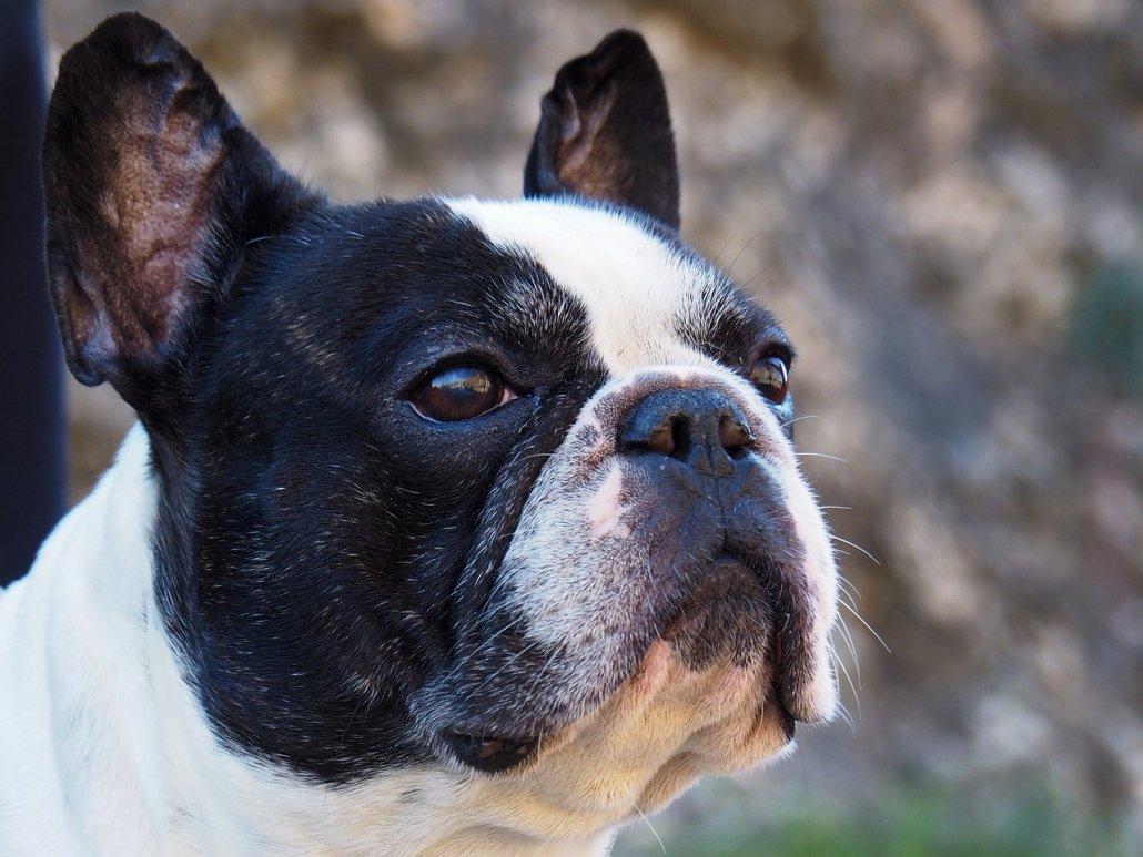 Cataratta ereditaria nel bulldog francese