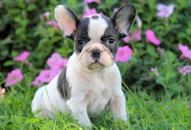 Cuccioli bulldog francese con pedigree ENCI