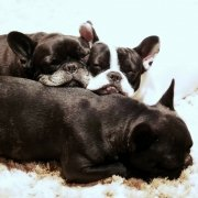 Iperuricosuria nel bulldog francese: sintomi e cause