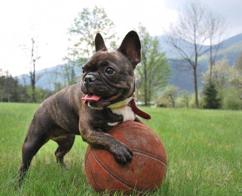 Lussazione della rotula (patella) Bulldog Francese