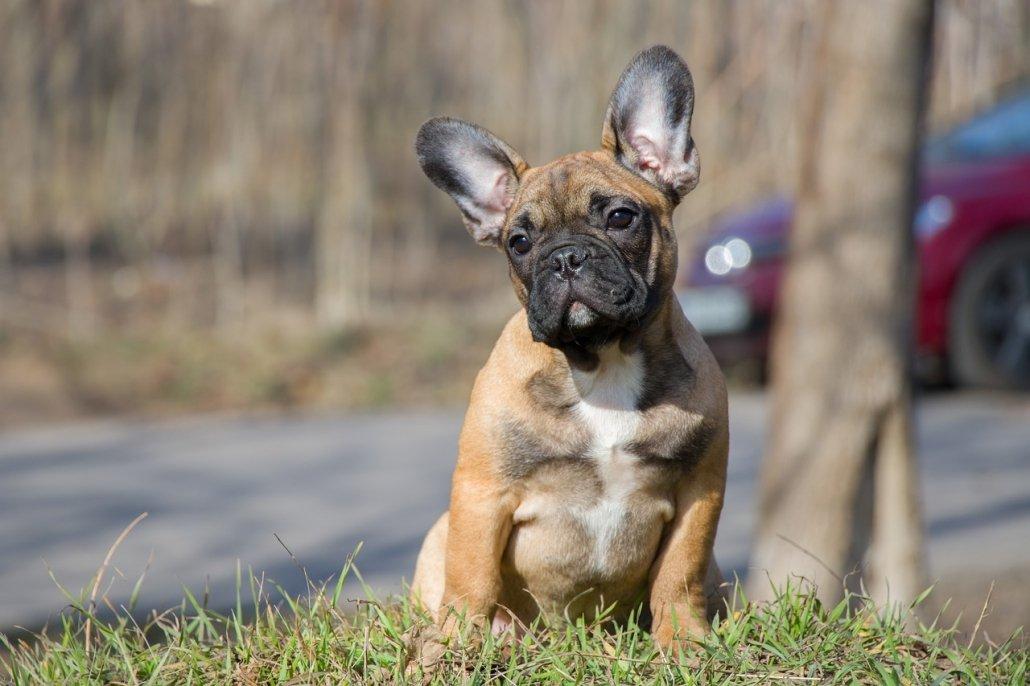 Mielopatia Degenerativa nel Bulldog Francese