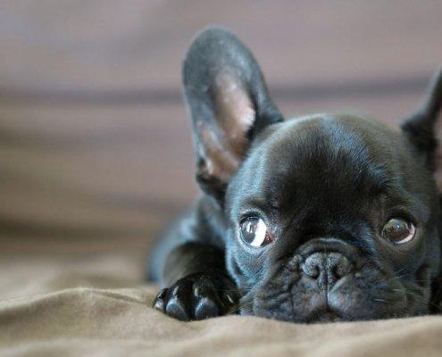 Trasportino per Bulldog Francese: quale scegliere